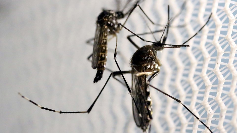 Aedes aegypti mosquitoes are seen inside Oxitec laboratory in Campinas, Brazil Foto: Reuters/Paulo Whitaker